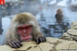 scimmie-al-caldo