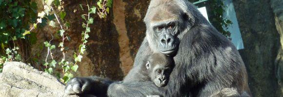 nato-gorilla-zoo-tokyo