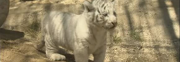 tigre-bianca-tokyo