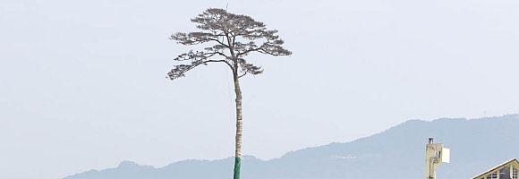 pino-del-miracolo
