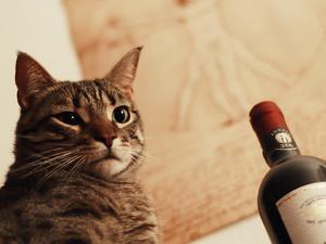 Gatto Mimmo tentazione alcolica