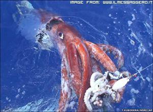 trovato-un-calamaro-gigante-di-4-metri-1