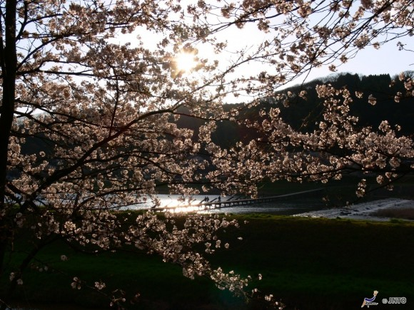 cherry-blossom-in-shimane-1