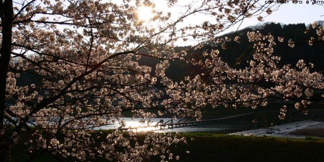 cherry-blossom-in-shimane-2