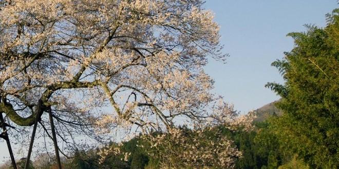 fiori-di-ciliegio-a-onuka