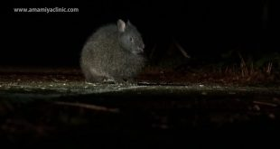 salvare-conigli-tokunoshima