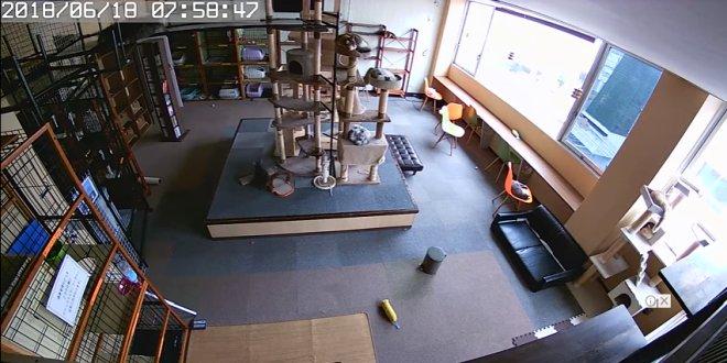 la-reazione-dei-gatti-al-terremoto-in-un-cat-cafe