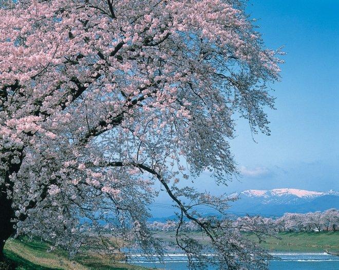 Hitome Senbon Sakura Festival