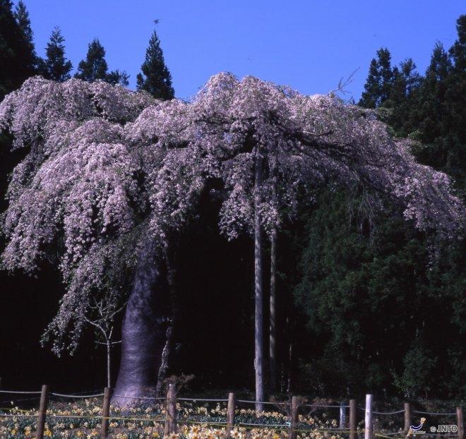 La primavera in Ibaraki