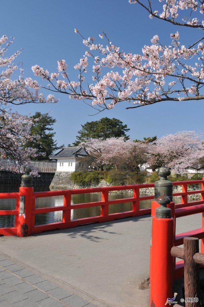 Alberi di ciliegio a Odawara