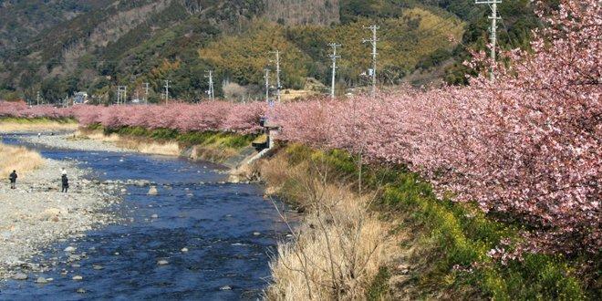 I Ciliegi di Kawazu