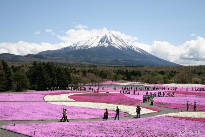 Il Festival di Fuji Shibazakura